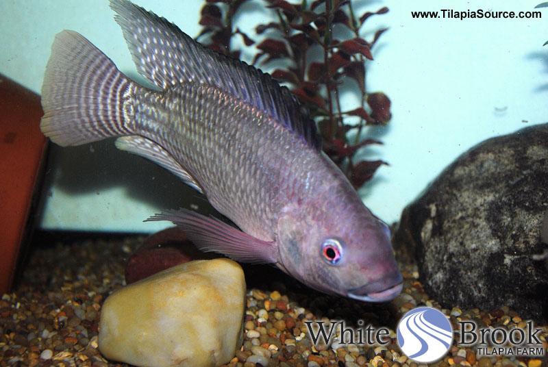 bluetilapia-wb.jpg