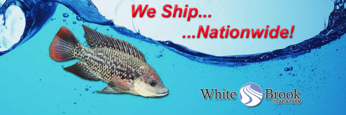 Tilapia Fingerlings Shipped Nationwide