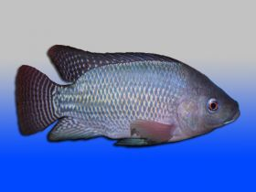 Blue Tilapia Fingerlings for sale